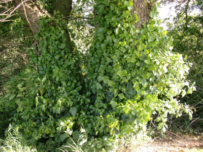 Ivy – Friend or Adversary?